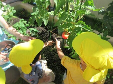 園庭で獲れたてのトマトときゅうりを食べました