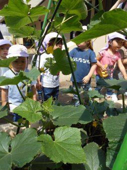 2021年6月18日(金) すみれ組で胡瓜の収穫をしました